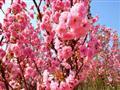 从化天适樱花悠乐园图片